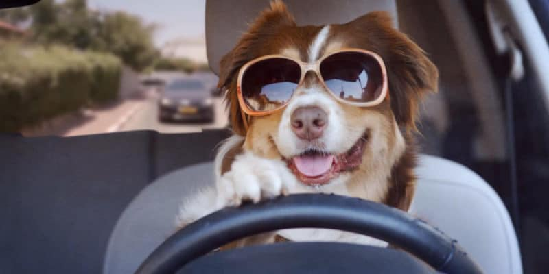 Customise This Dogs Funny Videos Driving a Car